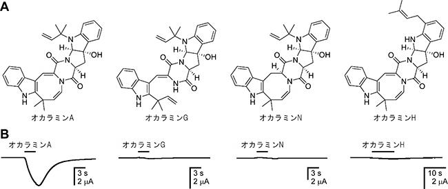 カイコガ由来抑制性グルタミン酸受容体(GluCl)に対するオカラミンの作用の図