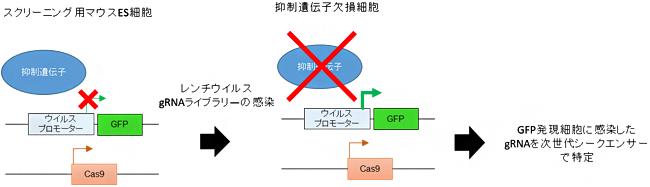 レトロエレメント抑制遺伝子のノックアウトスクリーニングの図