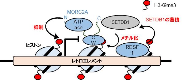 レトロエレメント抑制モデルの図