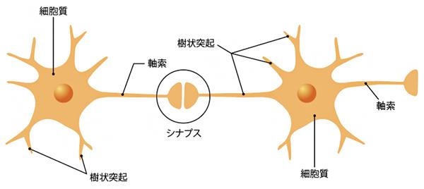 神経細胞とシナプスの模式図の画像