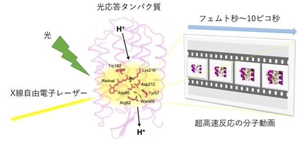 XFELで超高速反応する過程を捉える概念図の画像