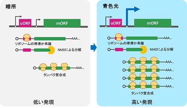 暗所および青色光への露光後の遺伝子発現の比較の図