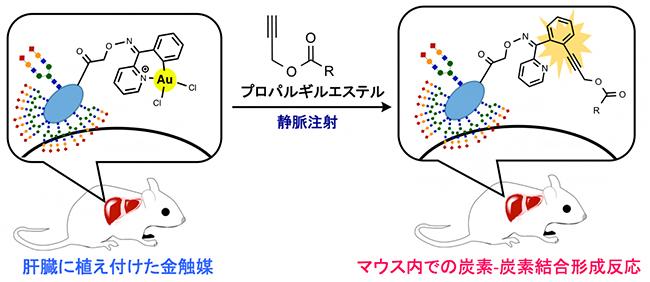 哺乳動物内での金触媒を用いた炭素-炭素結合形成反応の画像