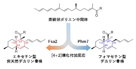 [4+2]環化付加反応を触媒する酵素Fsa2とPhm7の図