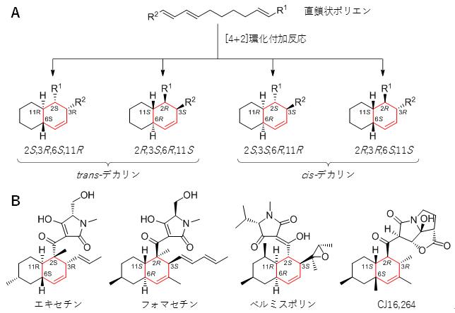 [4+2]環化付加反応で生じる四つの立体異性体とエキセチンとその類縁化合物の図