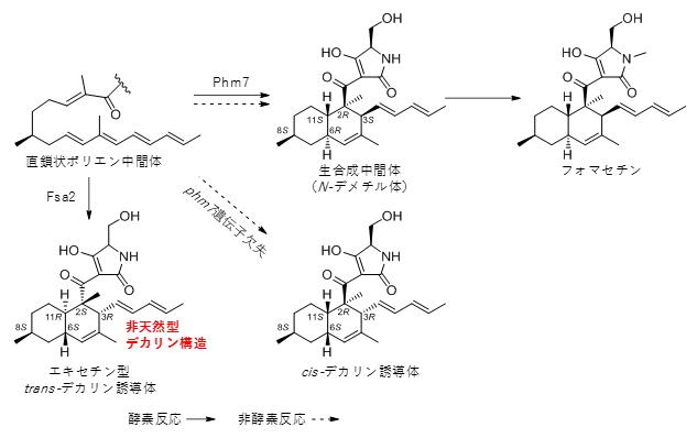 酵素Phm7、Fsa2の作用によって生じたデカリンの構造の図