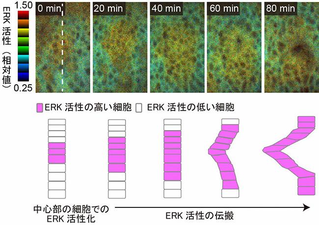 共鳴エネルギー移動によるERK活性時空間パターンの可視化