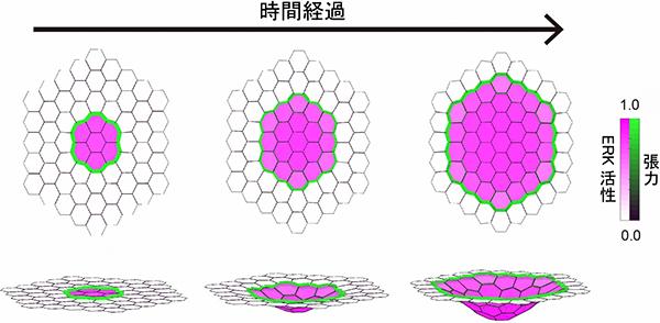 数理モデルによる気管上皮の陥入のシミュレーション