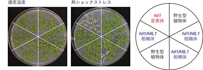 HIL1遺伝子変異体における熱ショックストレス耐性解析の図