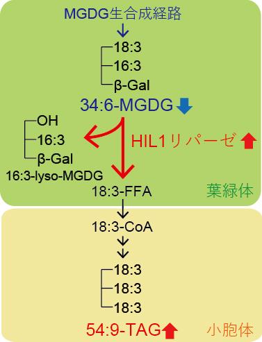 高温ストレス条件下の葉におけるHIL1によるMGDGのリモデリングの図
