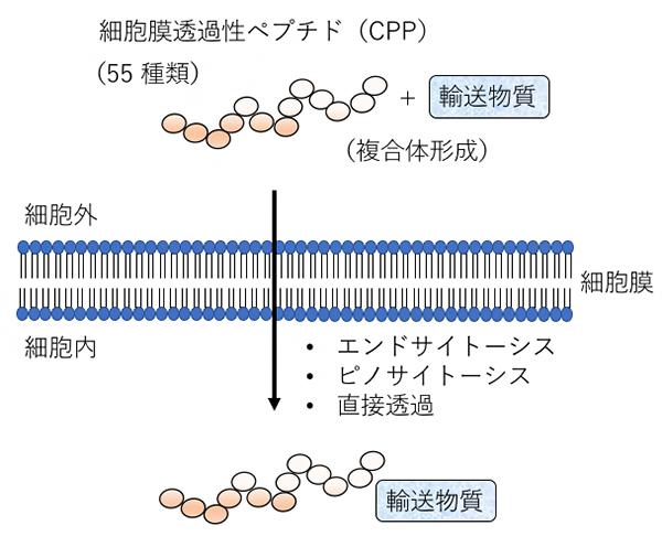 細胞膜透過性ペプチド(CPP)の概略図の画像