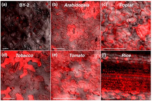 図3 植物細胞内に透過したCPP(HPV33L2-445/467)の図