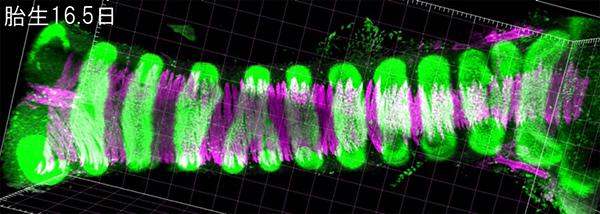 マウス気管の管腔構造の図