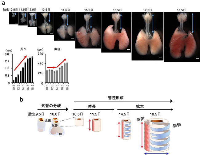 マウス胎児における段階的に進行する気管発生の図