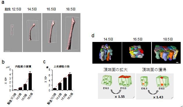 マウス胎児における気管内腔面の拡大様式の図
