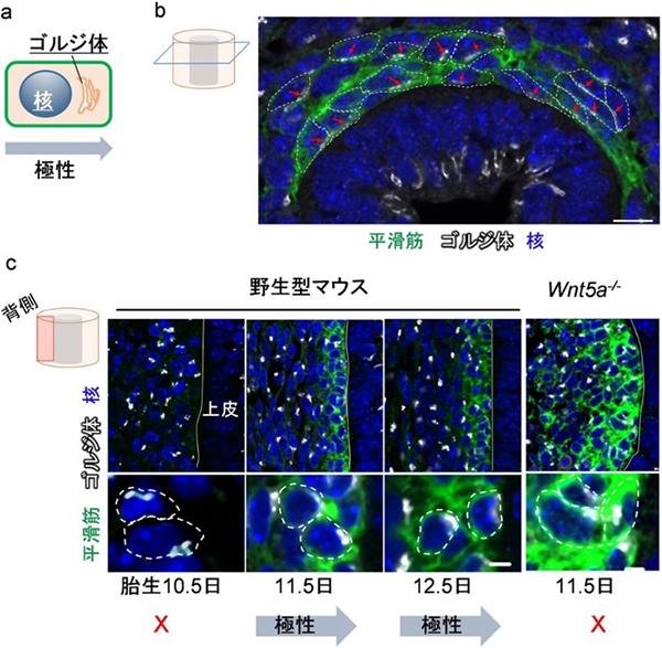 平滑筋細胞の放射状細胞極性とWnt5a遺伝子変異マウスにおける極性異常の図