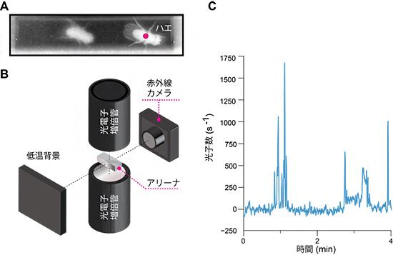 発光バイオセンサーを用いたハエの神経活動と行動の同時計測システムの図