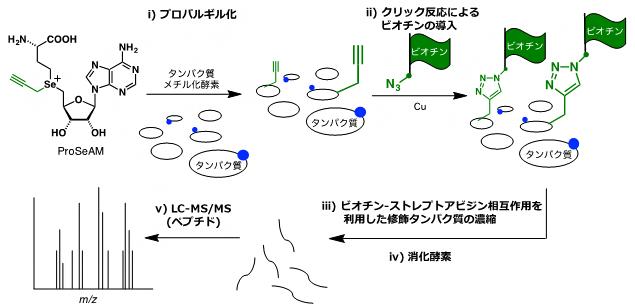 ProSeAMを用いるメチル化タンパク質の網羅的検出法の図