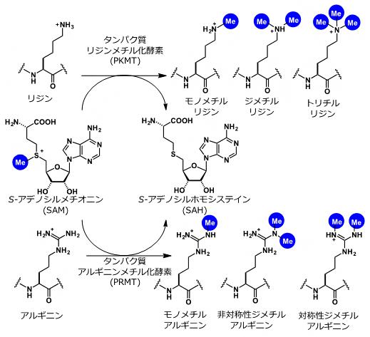 タンパク質メチル化反応、S-アデノシルメチオンニンの図