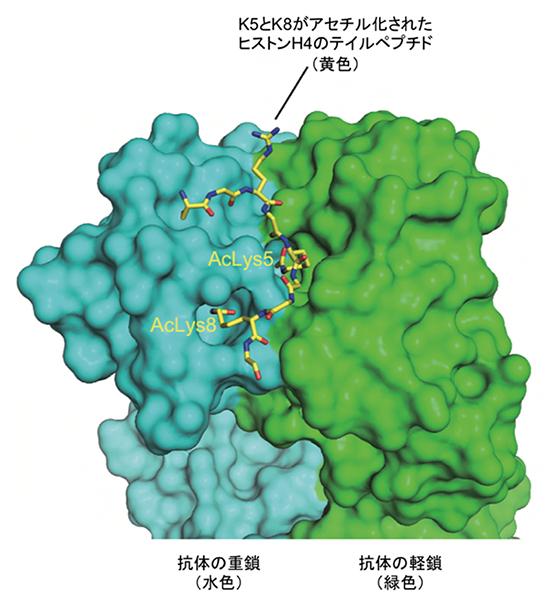 ヒストンH4の高アセチル化修飾(H4K5acK8ac)を認識する抗体の図