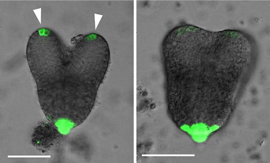 シロイヌナズナの野生株とcyp77a4変異株の胚におけるオーキシン分布の図