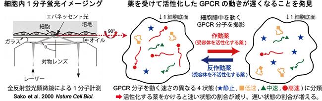 全反射蛍光顕微鏡を用いて生細胞膜中のGPCR1分子の動きを見て薬効を評価の図
