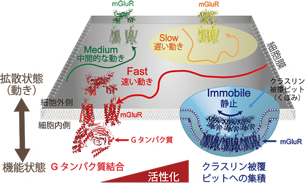mGluR3の生細胞膜中の動きと機能状態の関係の図