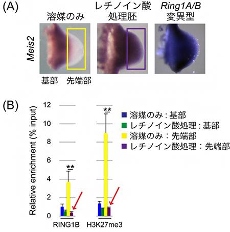 レチノイン酸処理によるMeis2遺伝子の肢芽先端部での発現誘導とポリコム複合体の変化
