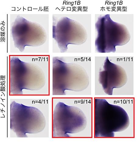 Meis2遺伝子活性化におけるポリコム複合体依存的なレチノイン酸への感受性