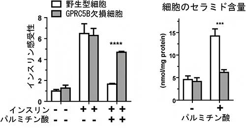 パルミチン酸によるインスリン感受性(左)とセラミド蓄積(右)の図