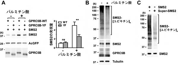 パルミチン酸存在下でのGPRC5B依存的SMS2のリン酸化とSMS2発現量の図