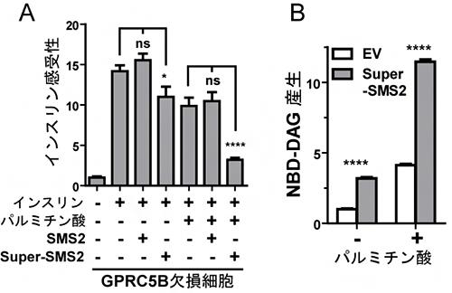パルミチン酸存在下でのGPRC5B依存的SMS2リン酸化によるSMS2発現の増大の図