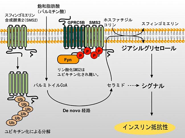 インスリン抵抗性を示す分子機構の図