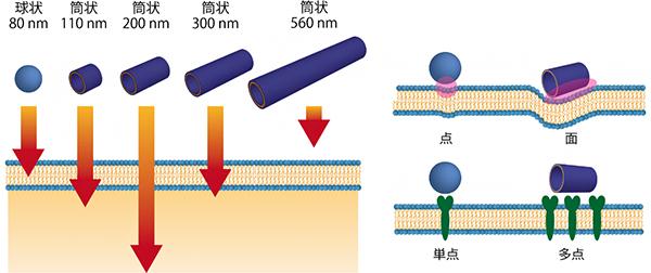 球状より素早く細胞に取り込まれる筒状構造体とその理由の仮説の図