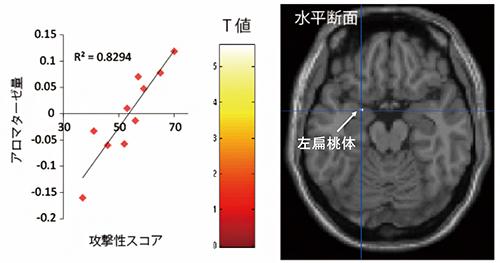 脳内アロマターゼ量と攻撃性に関連がある脳部位の図