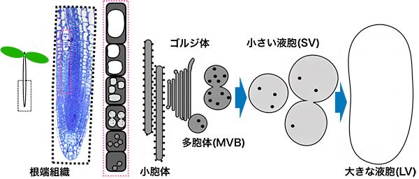 シロイヌナズナ根端の表皮細胞層の液胞形成機構の図