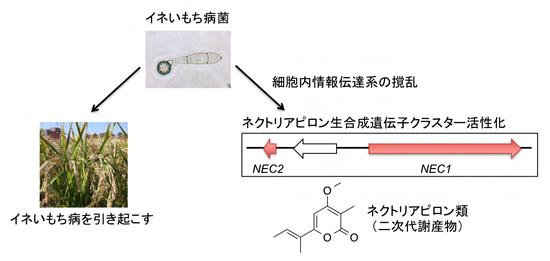 イネいもち病菌におけるネクトリアピロン類の生産誘導の図