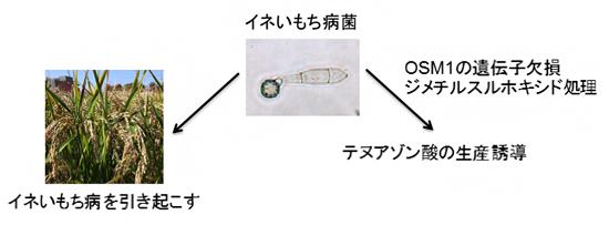 イネいもち病菌とテヌアゾン酸の図