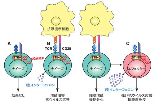 T細胞のSTINGによる抗ウイルス応答の誘導の図