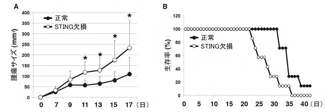 T細胞のSTINGによる抗腫瘍効果の図