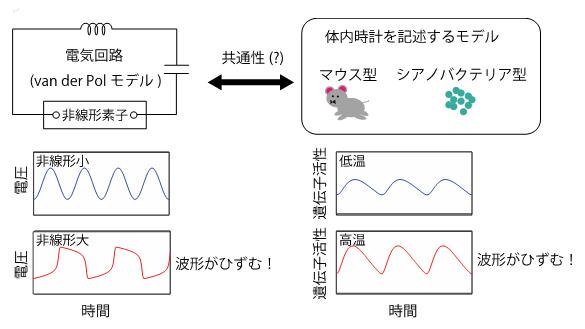 電気回路モデルと生物の体内時計のモデルに見られる波形のひずみの効果の共通性の図