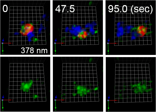 COPⅠ被覆タンパク質の機能が阻害された出芽酵母株における積荷タンパク質の移動の図