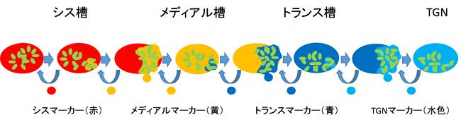 積荷タンパク質のゴルジ体内輸送モデルの図