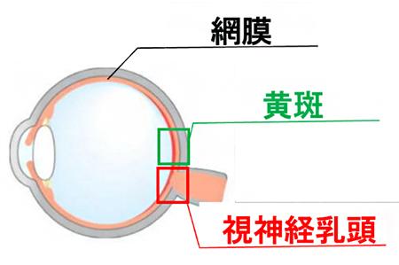 視神経乳頭と黄斑の図