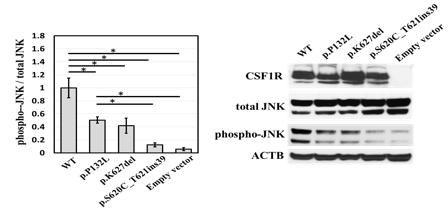 変異によるCSF1R機能の低下の図