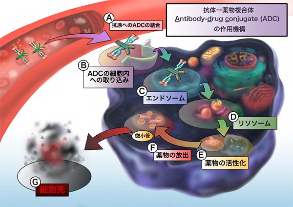 均一な構造の抗体-薬物複合体   理化学研究所