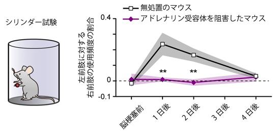 シリンダー試験によるマウスの運動機能の評価の図