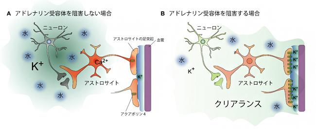 アドレナリン受容体の阻害によってカリウムイオンを正常化するクリアランスのモデルの図