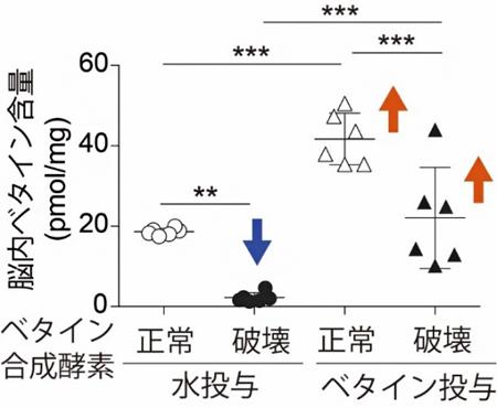 Chdh遺伝子ノックアウトマウスを使った脳内ベタイン濃度の解析結果の図