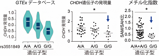 rs3551849の遺伝子型のCHDH遺伝子発現量、およびSAM/SAH比に与える影響の図